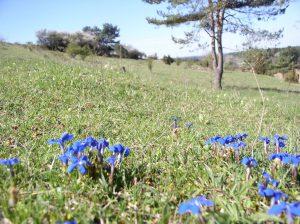 Frühlingsenzian auf Trockenrasen