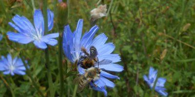 Wegwarte mit 2 sitzenden Sand Bienen